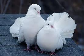 20 03 2012 голубь как символ мира